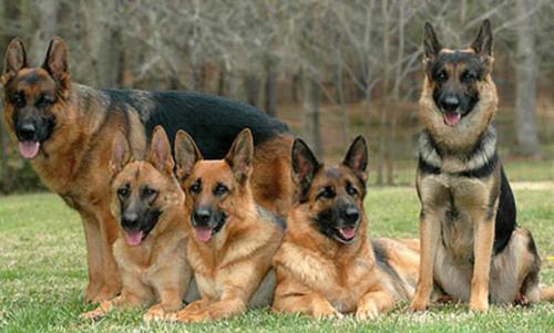 صور كلاب روعة 2017 , صور كلاب مفترسة 2018 , كلاب بوليسي 2017 2015_1390881956_744.