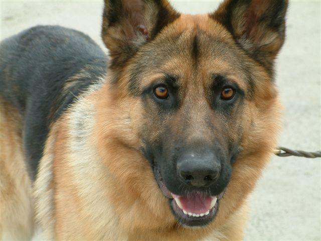 صور كلاب روعة 2017 , صور كلاب مفترسة 2018 , كلاب بوليسي 2017 2015_1390881966_778.