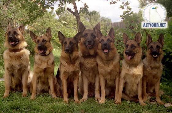 صور كلاب روعة 2017 , صور كلاب مفترسة 2018 , كلاب بوليسي 2017 2015_1390881968_807.