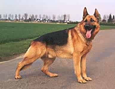 صور كلاب روعة 2017 , صور كلاب مفترسة 2018 , كلاب بوليسي 2017 2015_1390881972_919.