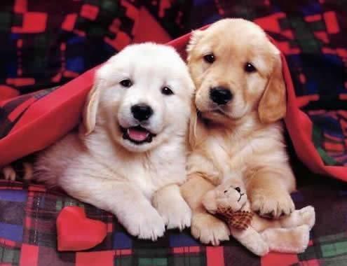صور كلاب روعة 2017 , صور كلاب مفترسة 2018 , كلاب بوليسي 2017 2015_1390881977_700.