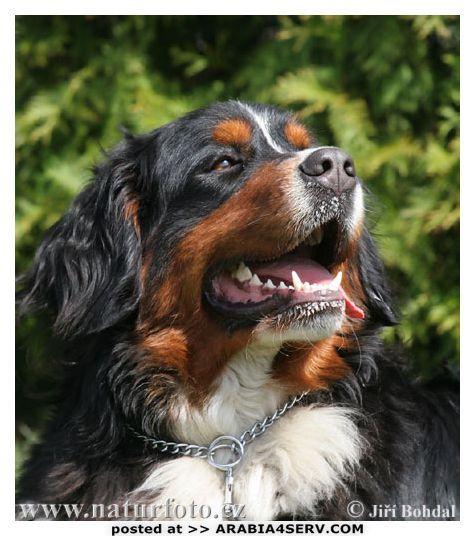 صور كلاب روعة 2017 , صور كلاب مفترسة 2018 , كلاب بوليسي 2017 2015_1390881977_907.