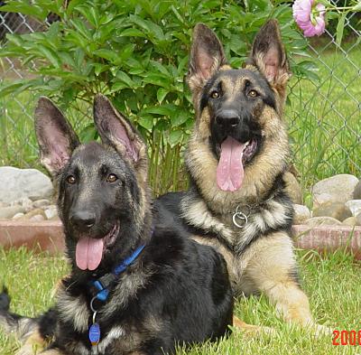 صور كلاب روعة 2017 , صور كلاب مفترسة 2018 , كلاب بوليسي 2017 2015_1390881987_822.