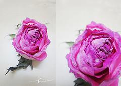 ��� ��� ���� ����� 2016 , ���� ������ ��� ������� ���� ���� ������ ���� Rosa damascena 2015_1402010259_188.