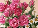 ��� ��� ���� ����� 2016 , ���� ������ ��� ������� ���� ���� ������ ���� Rosa damascena 2015_1402010259_190.