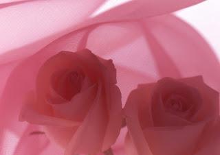 ��� ��� ���� ����� 2016 , ���� ������ ��� ������� ���� ���� ������ ���� Rosa damascena 2015_1402010259_192.