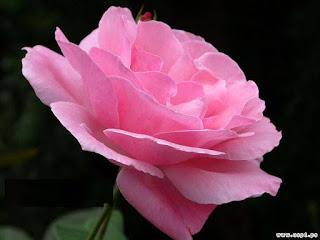 ��� ��� ���� ����� 2016 , ���� ������ ��� ������� ���� ���� ������ ���� Rosa damascena 2015_1402010259_198.
