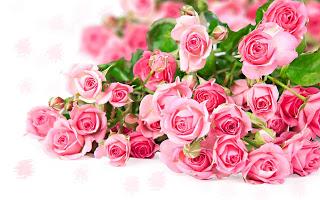 ��� ��� ���� ����� 2016 , ���� ������ ��� ������� ���� ���� ������ ���� Rosa damascena 2015_1402010259_225.