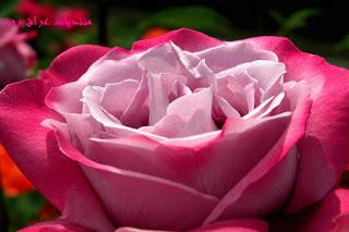 ��� ��� ���� ����� 2016 , ���� ������ ��� ������� ���� ���� ������ ���� Rosa damascena 2015_1402010259_333.