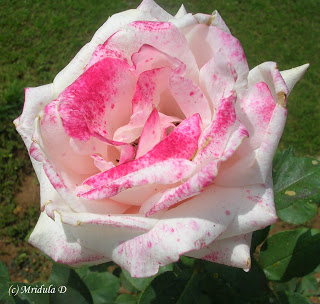��� ��� ���� ����� 2016 , ���� ������ ��� ������� ���� ���� ������ ���� Rosa damascena 2015_1402010259_620.