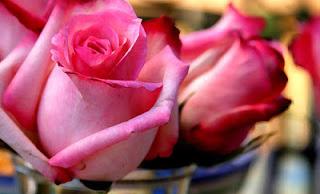 ��� ��� ���� ����� 2016 , ���� ������ ��� ������� ���� ���� ������ ���� Rosa damascena 2015_1402010259_666.
