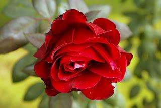 ��� ��� ���� ����� 2016 , ���� ������ ��� ������� ���� ���� ������ ���� Rosa damascena 2015_1402010259_717.