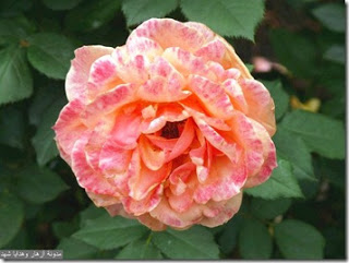��� ��� ���� ����� 2016 , ���� ������ ��� ������� ���� ���� ������ ���� Rosa damascena 2015_1402010259_783.