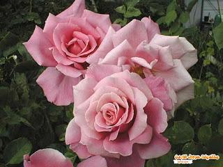 ��� ��� ���� ����� 2016 , ���� ������ ��� ������� ���� ���� ������ ���� Rosa damascena 2015_1402010259_794.