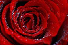 ��� ��� ���� ����� 2016 , ���� ������ ��� ������� ���� ���� ������ ���� Rosa damascena 2015_1402010259_833.