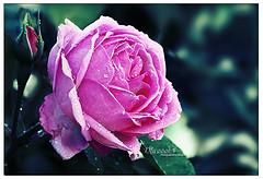 ��� ��� ���� ����� 2016 , ���� ������ ��� ������� ���� ���� ������ ���� Rosa damascena 2015_1402010260_200.