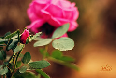 ��� ��� ���� ����� 2016 , ���� ������ ��� ������� ���� ���� ������ ���� Rosa damascena 2015_1402010260_284.