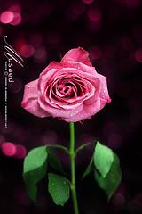 ��� ��� ���� ����� 2016 , ���� ������ ��� ������� ���� ���� ������ ���� Rosa damascena 2015_1402010260_415.