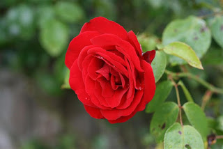 ��� ��� ���� ����� 2016 , ���� ������ ��� ������� ���� ���� ������ ���� Rosa damascena 2015_1402010260_583.