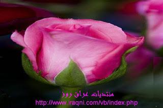 ��� ��� ���� ����� 2016 , ���� ������ ��� ������� ���� ���� ������ ���� Rosa damascena 2015_1402010260_681.
