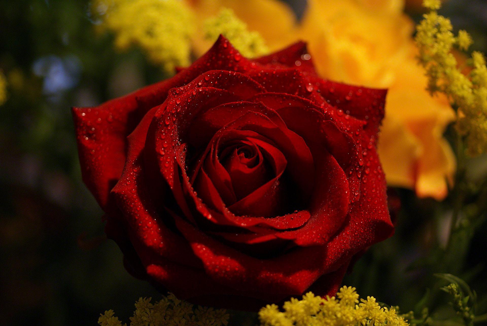 صور ورد جوري جديدة 2019 اجمل الورود بكل الالوان احمر اصفر بنفسجي