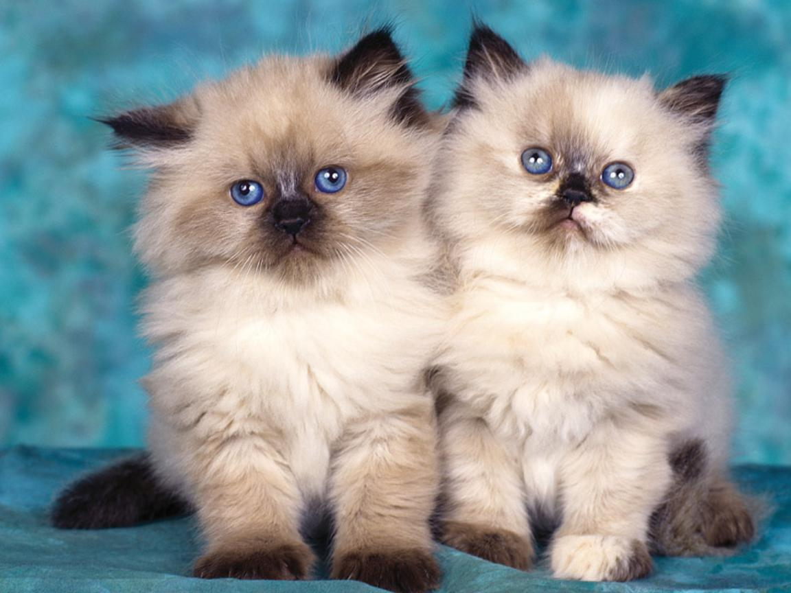 ��� ��� ����  , ��� ��� ����� 2016 , ��� ����� 2016 Photos Cats 2015_1412123023_222.