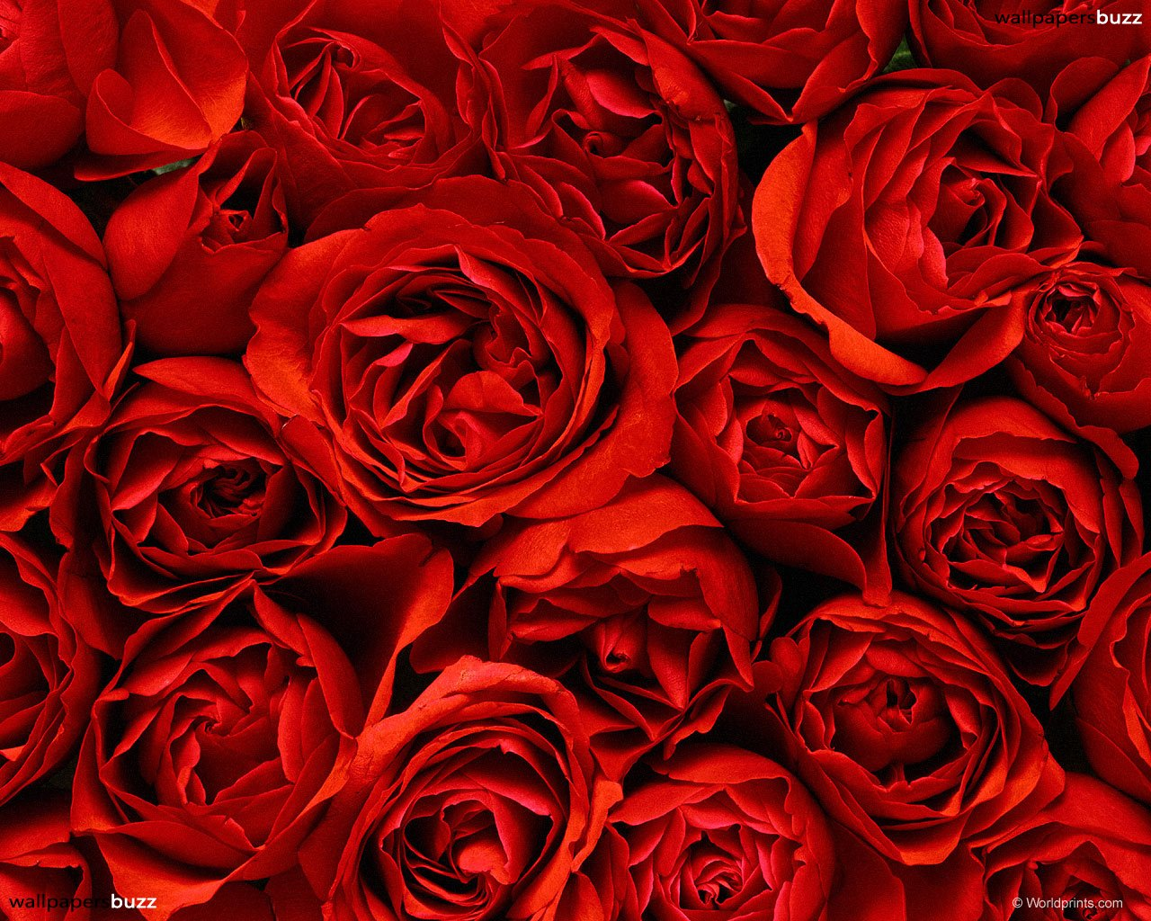 صور ورد جميلة حمراء و ورود متحركة وخلفيات جميلة لكل من يحب صور