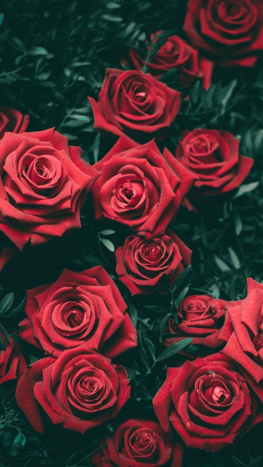 صور ورد احمر جنان خلفيات ورد جورى احمر صور ورد الحب الاحمر 2021 صقور الإبدآع
