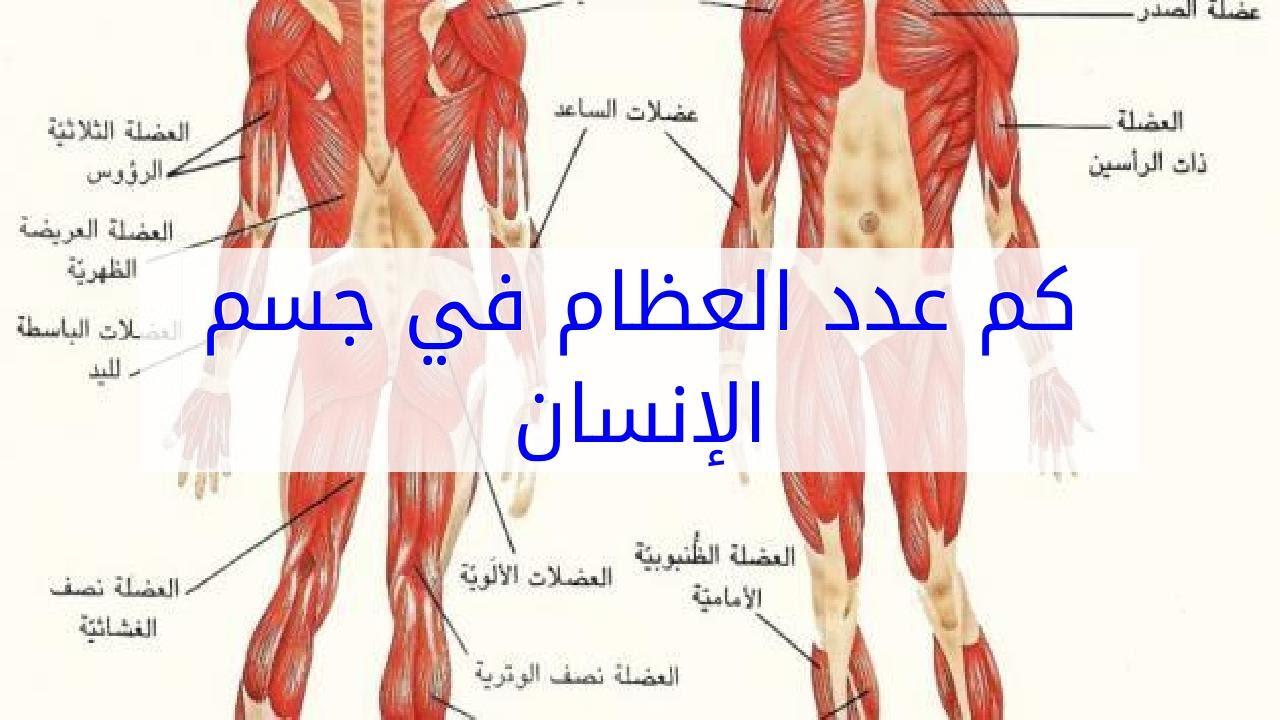 كم عدد العضلات في جسم الإنسان انواع عضلات جسم الانسان 2021 صقور الإبدآع