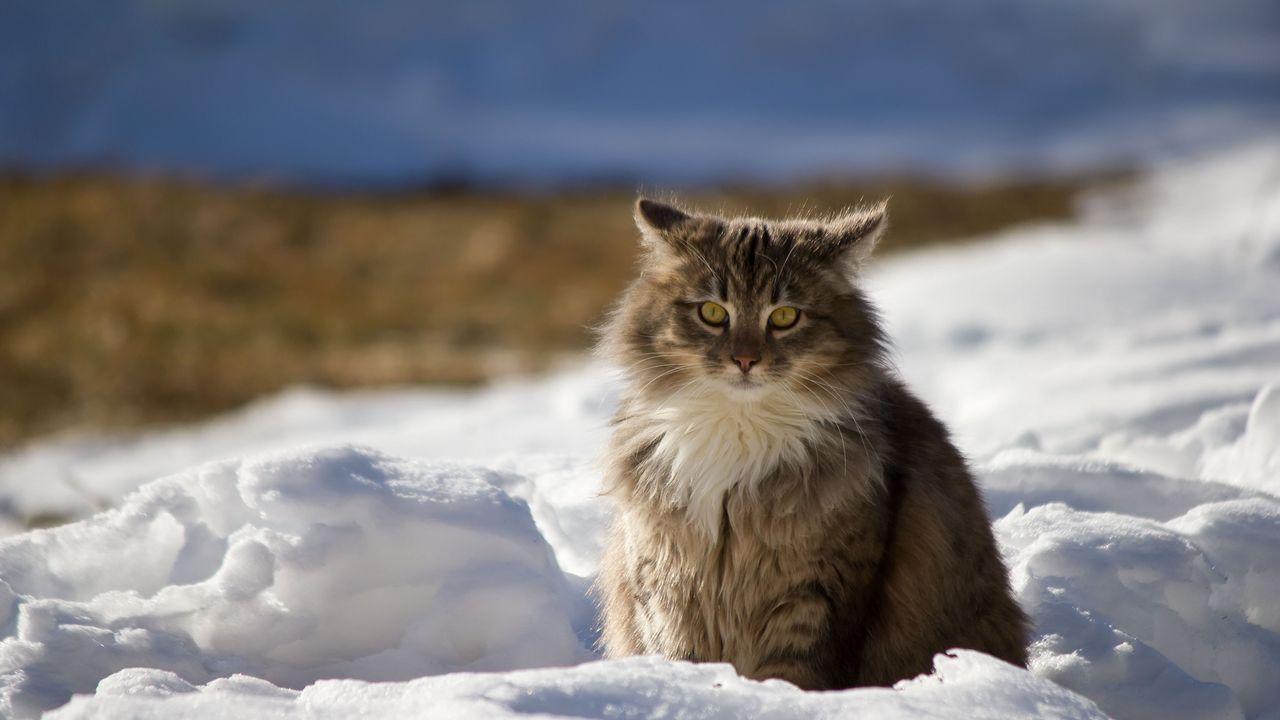 cat_winter_fluffy_snow_99366_1280x720.jpg