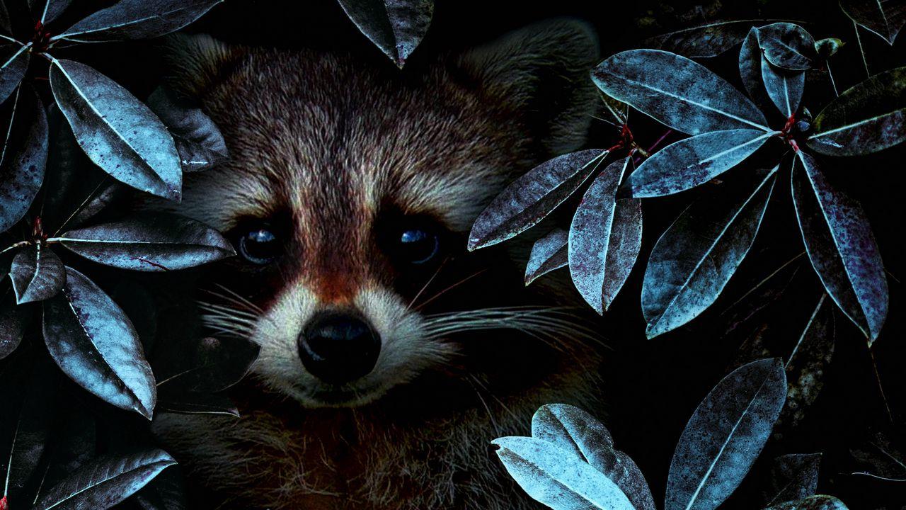 raccoon_leaves_disguise_119370_1280x720.jpg