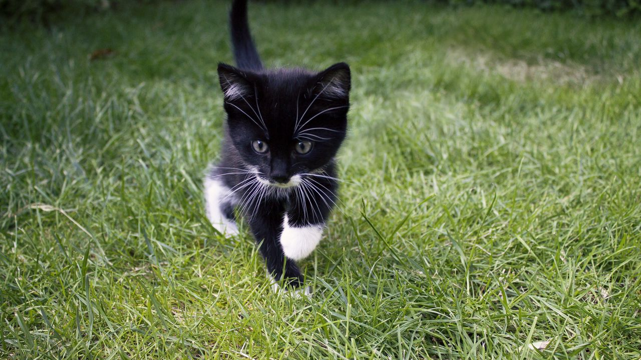 kitten_cat_grass_123220_1280x720.jpg