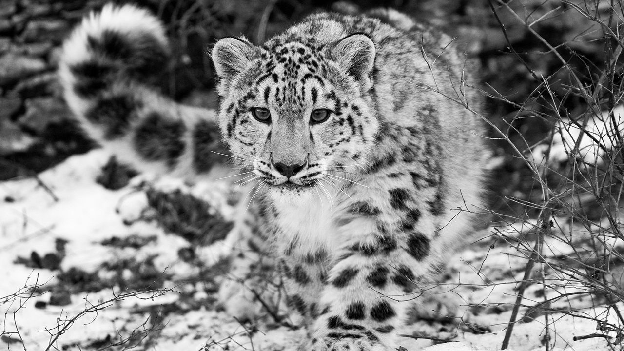 w_hunting_attention_black_and_white_57947_1280x720.jpg