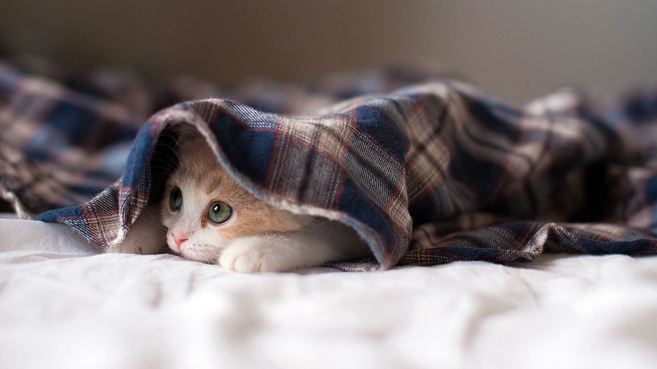 cat_lying_kitten_playful_91882_1280x720.jpg