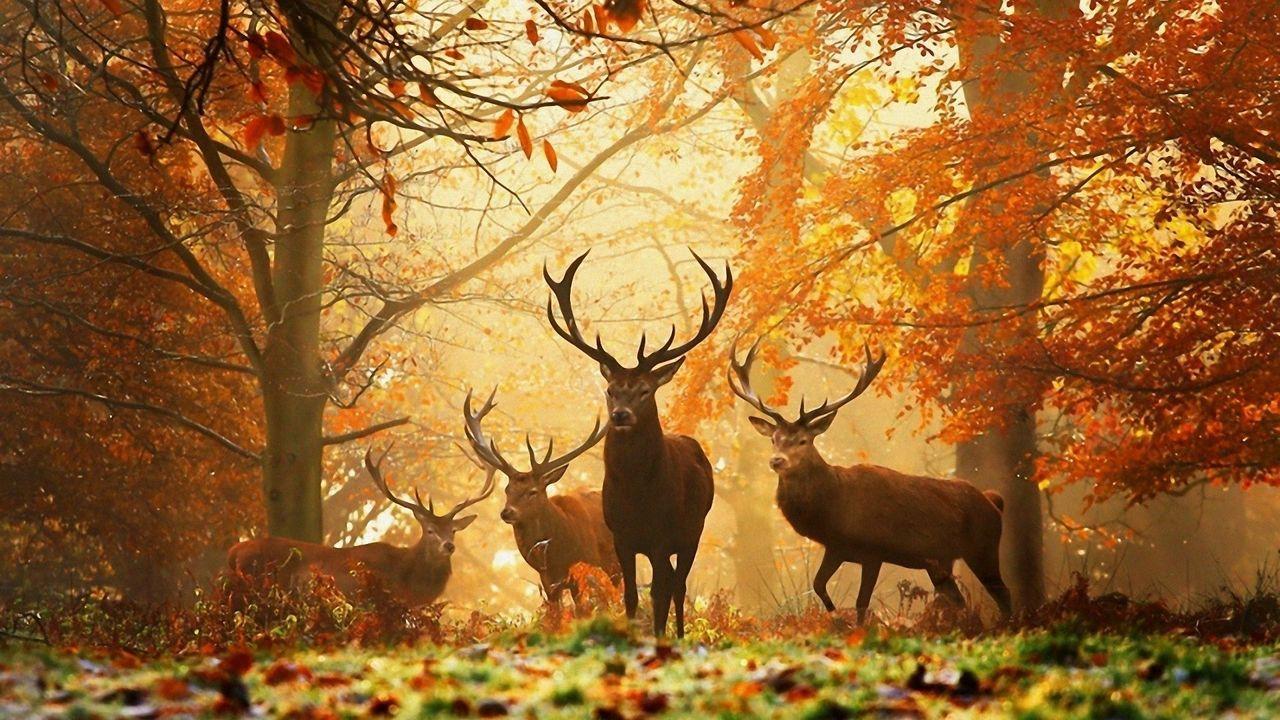 deer_grass_leaves_autumn_trees_59721_1280x720.jpg