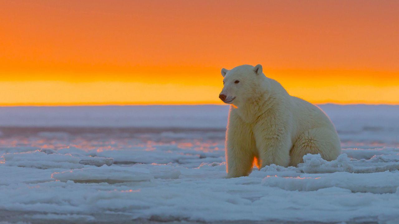 polar_bear_alaska_snow_105367_1280x720.jpg