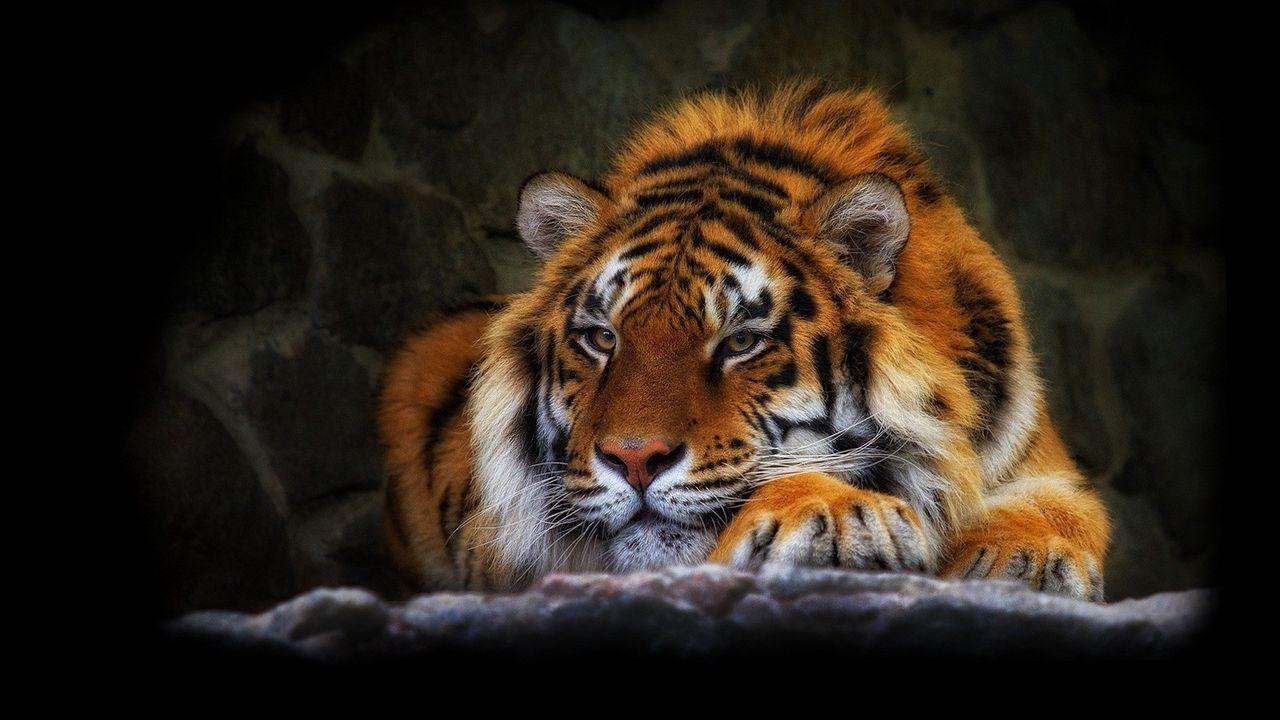 tiger_wild_cat_black_background_74419_1280x720.jpg