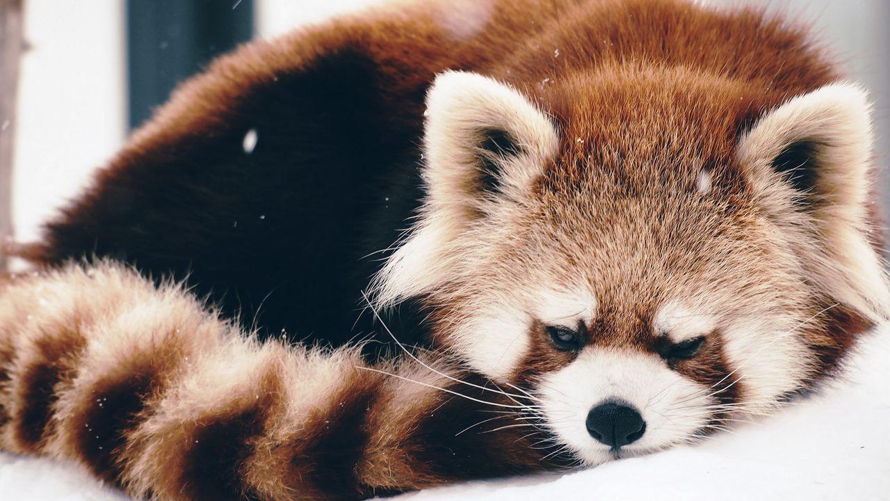 red_panda_panda_fluffy_lie_104027_1280x720.jpg