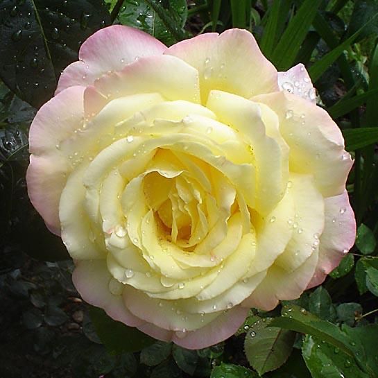 Rose.A.Mailend1.jpg