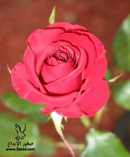���� ��� ��� 2016 Photos-Flowers-sowar-ward ���� ��� ����� 2013_1385009526_107.