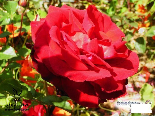 ���� ��� ��� 2016 Photos-Flowers-sowar-ward ���� ��� ����� 2013_1385009533_200.